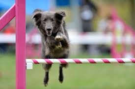 what equipment do you need for dog agility dog planet