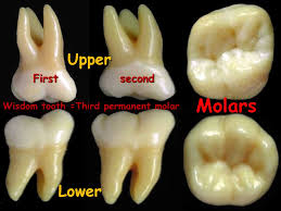 Maxillary Second Molar Human Dentition Ppt Video Online Download