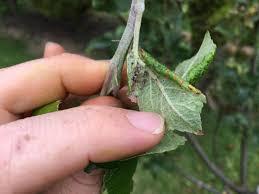 aphids on apple leaf 3 full width jpg