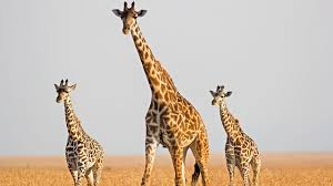 picture of a giraffe. Interesting Picture Giraffe Genome Reveals Clues To Skyscraping Height For Picture Of A