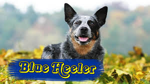Cattle Dog Weight Chart Blue Heeler Australian Cattle Dog Personalities And Pictures