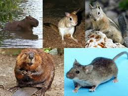 Squirrel Species Chart Rodent Wikipedia