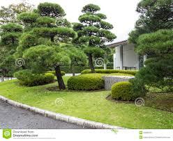 pine trees in japanese garden