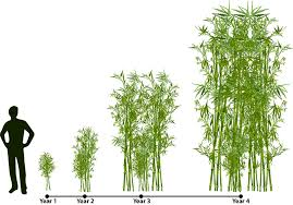 Tree Root Size Chart How Does Bamboo Grow Lewis Bamboo