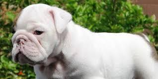 miniature bulldog puppy picture