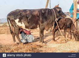 Milk India Woman Stock Photos Milk India Woman Stock Images Alamy
