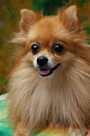 Pomeranian Weight Chart Pomeranian Dog Breed Information Pictures Characteristics