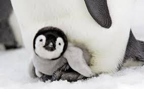 cute baby penguin wallpaper. Wonderful Baby Cool Cute Baby Penguin Wallpaper Check More At  Httpwwwfinewallpaperseupin3517 Inside Cute Baby Penguin Wallpaper