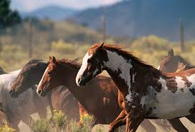 paint horses running in a field. Contemporary Paint HOR 01 RK0210  Kimball Stock Horses Running In Field Paint A A