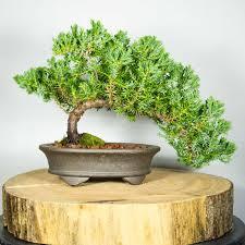office bonsai tree. Unique Bonsai Bonsaitreejunipersquamataofficetrimmersemicascade For Office Bonsai Tree
