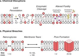 plasma membrane integrity implications