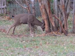 Deer Proofing Fruit Trees U2013 Tips On Keeping Deer Away From Fruit TreesKeep Deer Away From Fruit Trees