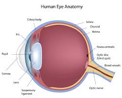 Order In Which Light Passes Through The Eye Quizlet 2 4 1 Anatomy Of The Eye Part 1 Diagram Quizlet