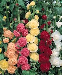 hollyhock cr s double mix