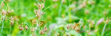 Best Herbicide Products For Getting Rid Of Purple Nutsedge