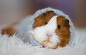 common signs of a guinea pig dying