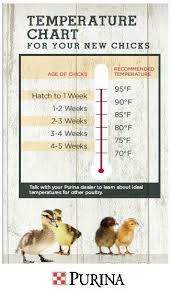 Temperature Chart For Chicks Raising Chickens Keeping