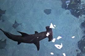 great hammerhead shark eating. Wonderful Eating HH Feed1 Intended Great Hammerhead Shark Eating S
