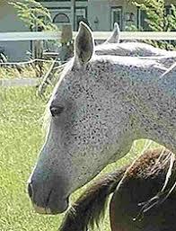 Schimmel Pferd Wikipedia