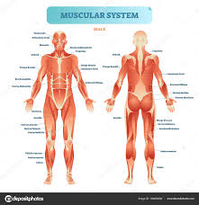 Full Body Muscle Chart Male Muscular System Full