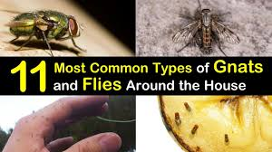 Fungus Gnats Attracted To Light 11 Most Common Types Of Gnats And Flies Around The House