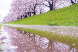Bunga Sakura Cara Jepang Mengetahui Mekar Bunga Sakura Dengan Tepat