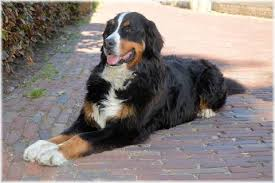 dog crates size chart bernese mountain dog_large jpg v 1503455356