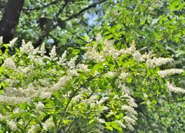 Fast-growing privet can get you privacy in a hurry; if given proper care,  it can add between two and three feet to its height each year.