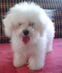 this breed was thought to have descended from dogs like the bichon frisé in southern italy the bolognese became por as a panion dog among royal