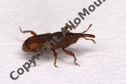 En belgique, le programme xylobios vise une meilleure protection des communautés saproxylophages et de leur habitat. Insectes Xylophages En Belgique Deratisation En Belgique Bruxelles Wallonie Flandre