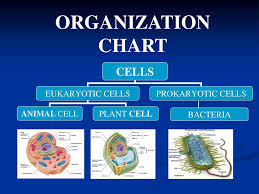 Organization Chart Bacteria Aim How Can We Describe The