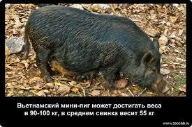Занимательные факты о свиньях фото любопытные факты про домашних  Факты о свиньях