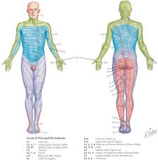 Spinal Dermatomes Chart Dermatome An Overview Sciencedirect Topics