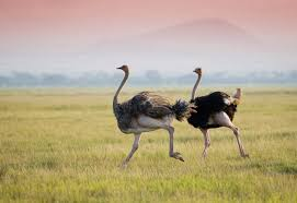 featherless ostrich. Simple Ostrich Ostriches On The African Savannah By Andrzej Kubik  Shutterstockcom Throughout Featherless Ostrich L