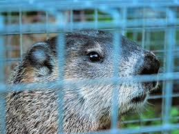 getting rid of groundhogs mothballs.  Groundhogs The Best Groundhog Control Is Removal And Prevention To Getting Rid Of Groundhogs Mothballs Dengarden