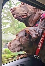 Silver Platter Chocolate Labs - Posts | Facebook
