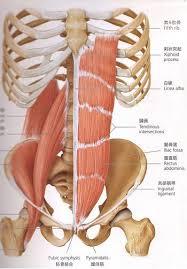 「お腹の筋肉」の画像検索結果