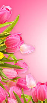 Pink tulips, pink background 1242x2688 ...