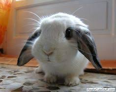 cute baby bunnies with floppy ears. Simple Cute Floppy Ear Baby Bunny Cute Baby Animals Funny Wild Tiny  Bunny Throughout Bunnies With Floppy Ears H