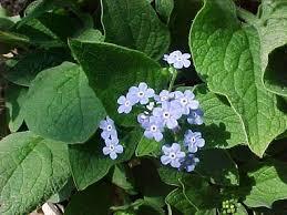 early spring perennials.  Perennials Brunnera Macrophylla Siberian Bugloss Herbaceous Perennial Inside Early Spring Perennials G