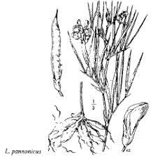 Fam. Guttiferae - florae.it