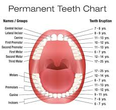 Tooth Position Chart All About Primary Teeth Triangle Pediatric Dentistry