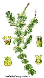 Haloragaceae - Wikipedia