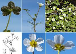 Ranunculus baudotii Godr. - Portale sulla flora delle Saline di Cervia