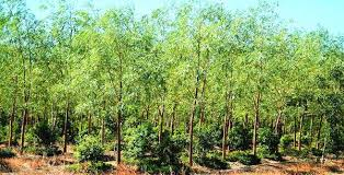 Sandalwood Cultivation Information Guide Agri Farming