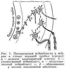 Реферат На тему Морфологическая организация Реферат  Нейрон от греч neuron нерв неврон нервная клетка основная функциональная и структурная единица нервной системы Образование нейрона происходит при