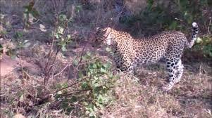 2 Leopards Attack giant Python ! Kruger National Park. - Animals ...