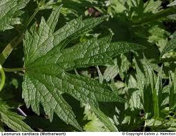 bugleweed for hyperthyroidism