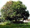 mango tree biography