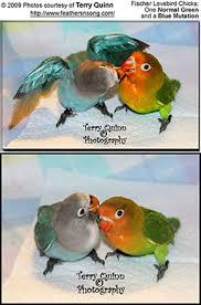 Fischers Lovebirds Eye Ring Lovebirds Beauty Of Birds